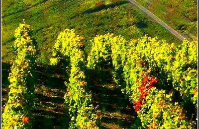 Les vignes - Château-Chalon  - Jura