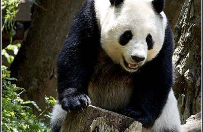 Animaux sauvages - panda
