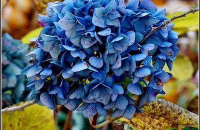 Les fleurs - hortensia