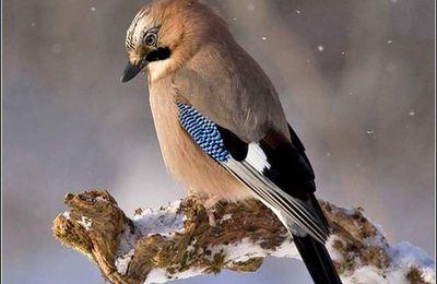Les oiseaux - geai