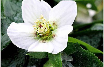 Les fleurs - Rose de Noël (Hellebore)