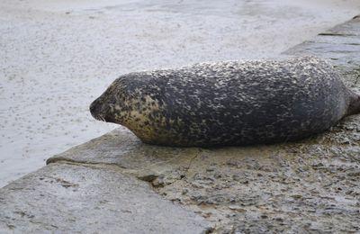 Le phoque de Mordreuc (35)