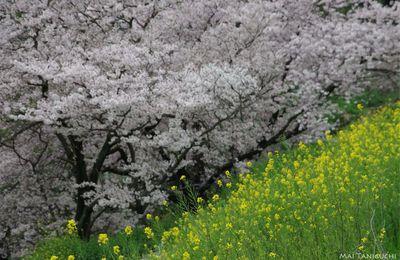 La neige de cerisiers