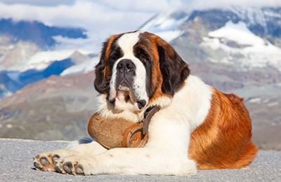 Le syndrome du Saint Bernard