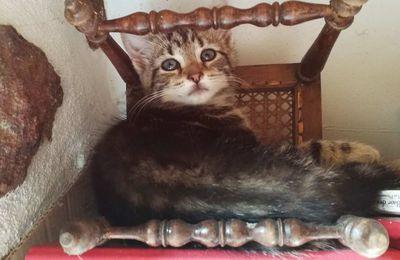 Luciole  petite chatte tigréee Européenne de 3 mois à l'adoption chez sos chiens galgos