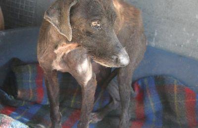 P. Une petite misère de chienne très trauma 2 ans environ à adopter à l'association sos chiens galgos