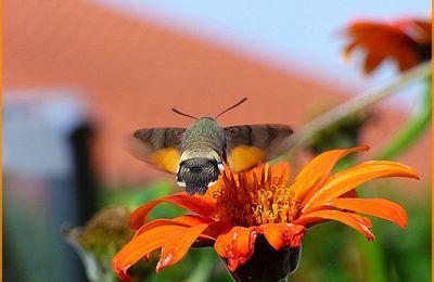 Le Moro Sphinx - Papillon nocturne.