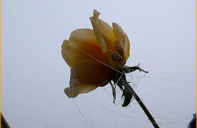 Une rose..