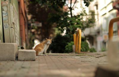 Faisons connaissance avec les chats d'Istamboul.