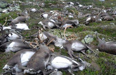 Un troupeau de rennes foudroyé