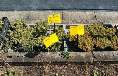 Quelques plantes sédum et autres ...