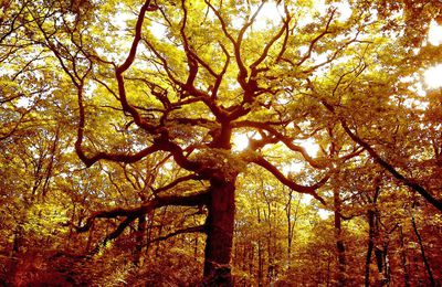 Le chêne des Hindres