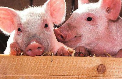 Des élus de Dreux suppriment le cochon d'une affiche et s'attirent les foudres de twittos