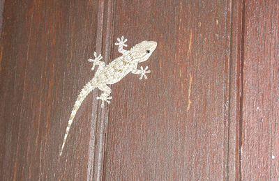 Les geckos sont de sortie
