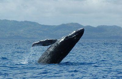 L'incroyable geste de remerciement d'une baleine sauvée de la mort