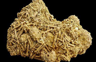 Hemicidaris luciensis