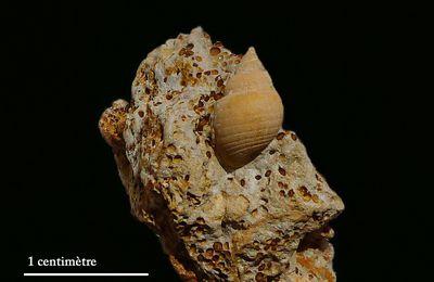 Actaeon (Tornatella) aff. multistriata