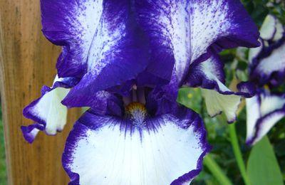 Iris de jardin