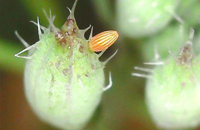 oeuf de papillon