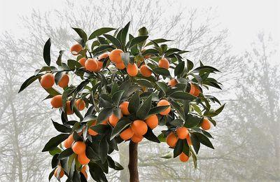 Kumquat ... pour mes desserts