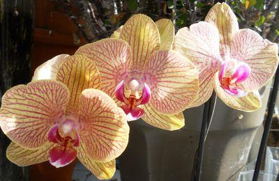 Une brassée d'Orchidées
