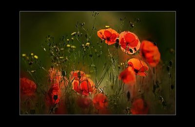 Lanarte - Poppies