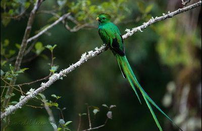Mille et une photos du Panama, le quetzal resplendissant du Volcan Barú.