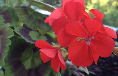Geranium, hardy geranium, pelargonium : graines et plantes