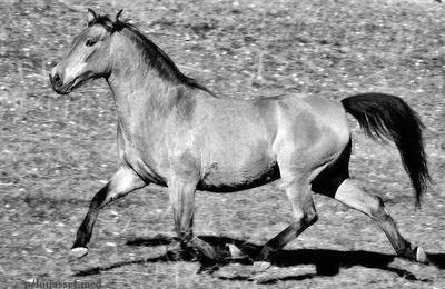 الحصان البربري لمنطقة جبل عمور