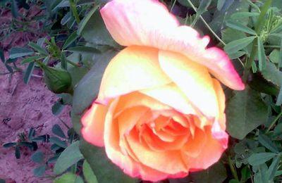 Merci Petite Rose de nous avoir fait l'honneur de naître dans notre jardin ....