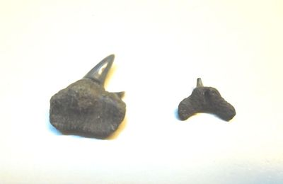 Megachasma sp. du Néogène du Port d'Anvers à confirmer