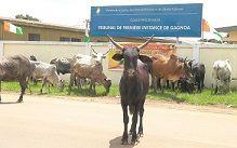 Divagation des animaux à Gagnoa/Des troupeaux de bœufs obstruent les voies et tapissent la ville de leurs défécations: Le laxisme et le silence coupable des autorités mis à nu