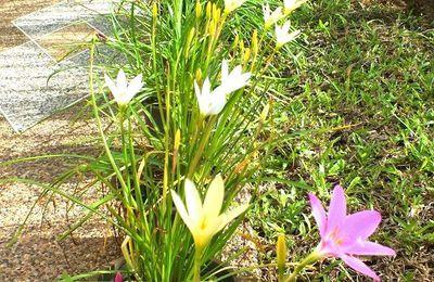 Août 2016 : Udonthani. Fleurs « Zephyranthes minuta »