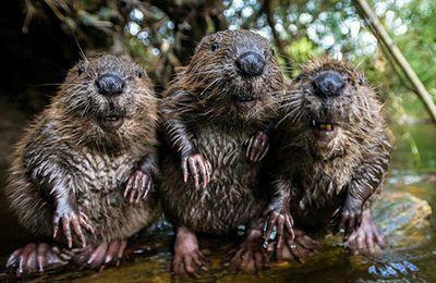 #Présidentielles2017 : 3 castors refusent de faire barrage au Front-National