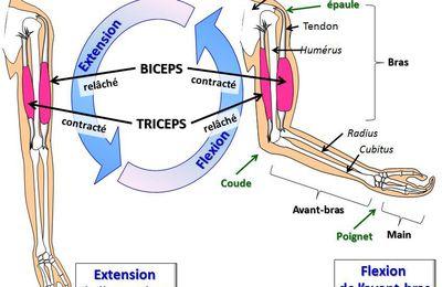 flexion extension avant-bras