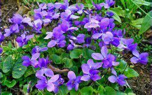 La Violette : fleur de printemps