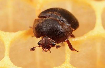 Menace d'introduction du petit coléoptère des ruches, Aethina tumida, en France