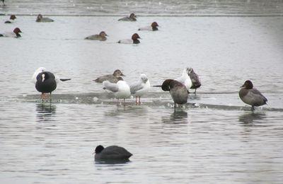 Glace et Fuligule milouin au lac de Chelles-Vaires