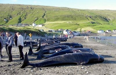 Arrêter le massacre des Dauphins aux îles Féroé