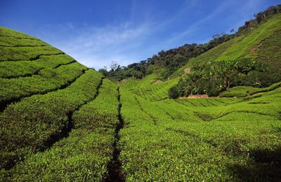 Les Cameron Highlands