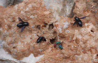 Dans le Péloponnèse avec Pascal Jarige (1) - Les abeilles maçonnes de Viglas, Megachila parietina
