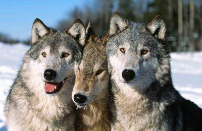 36 loups à tuer : la France en infraction et contre l'avis des Français