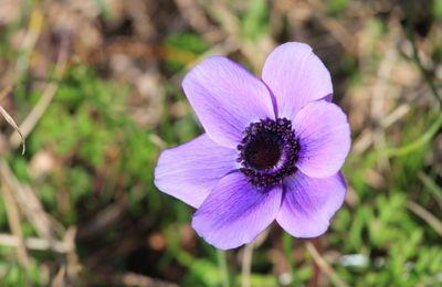 Petites fleurs du Péloponnèse - Grèce