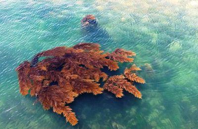 Algues à Marée Basse aux Sables d'olonne