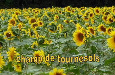 Tournesols de Vendée