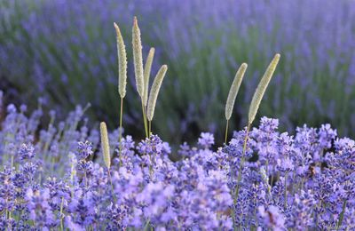 Près d'Aix-en-Provence, le Grand Site Sainte Victoire: balade pour aller voir les champs de lavandes autour du Concors