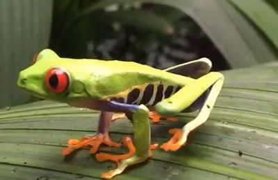 Grenouille du Costa Rica en slow motion