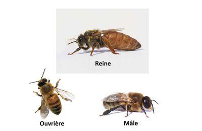 Anatomie de l 'abeille