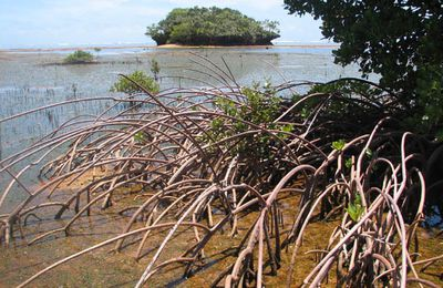 Les poissons à l'interface mangrove / air / eau