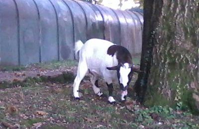 La capra che faceva la sua passeggiata dopo pranzo
